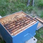 la ruche est bien peuplée à la sortie de l'hiver