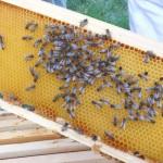 premier rayon de soleil les abeilles se promènent sur les rayons de cire d'une hausse