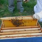abeilles sur un cadre
